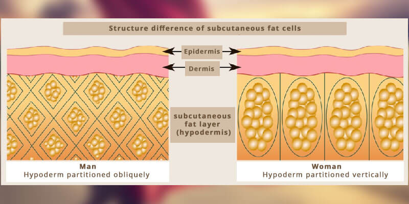 Structure difference of subcutaneous fat cells
